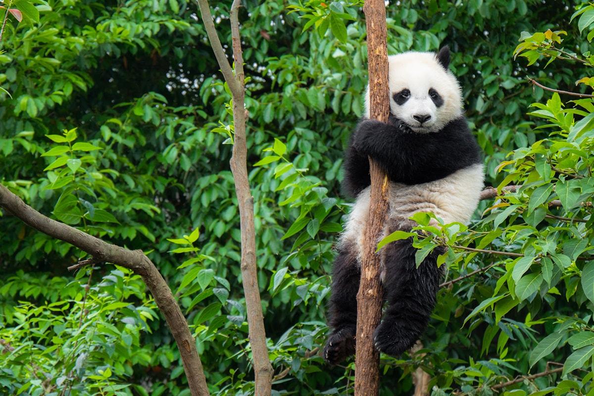 14 day China tour with Pandas, Yangtze River cruise, Hong Kong and flights